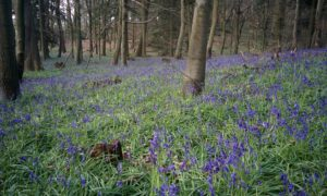 Bluebells at Chantry Wood
