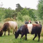 Cattle graze some areas of the Thames Basin Heaths