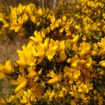 Gorse is a typical heathland plant, thriving in the low nutrient, acidic sandy soil.