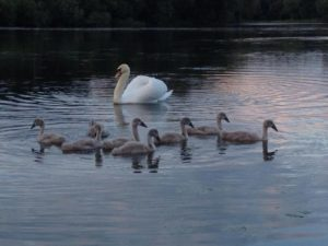 Swans at Swan Lake Park by Ruth Papworth