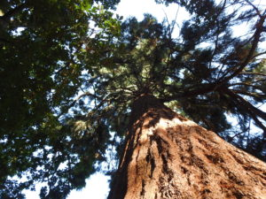 Redwood at St. Ann's Hill