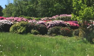 Earlswood Park rhododendron display