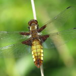Broad-bodied Chaser dragonfly photographed at Heather Farm by Warden Michael