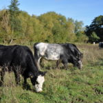 Grazing at Riverside Nature Reserve