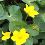 Marsh marigold at Shepherd Meadows