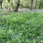 Bluebells at Southwood Woodland