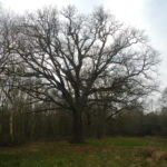 Ancient oak at Southwood Woodland