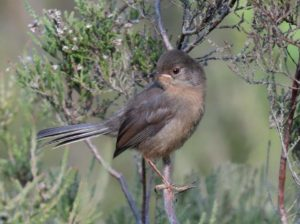 Juvenile Dartford Warbler photographed at Barossa by local photographer Jerry O'Brien