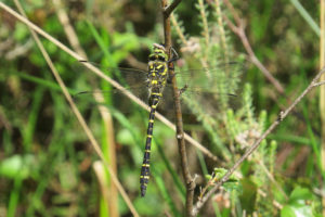 Golden-ringed Dragonfly photographed by Warden Michael at Heath Warren last season