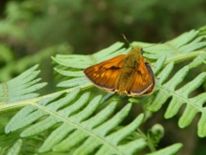 Large Skipper on Barossa