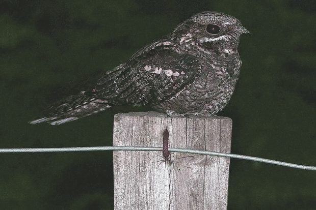Nightjar at dusk on the Thames Basin Heaths Special Protection Area