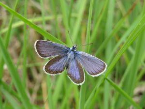 Upper side of silver-studded blue butterfly by Michael Jones