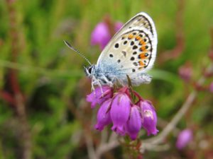 Silver-studded blue by Warden Michael