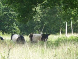 Belted Galloway cattle grazing at Whitmoor Common