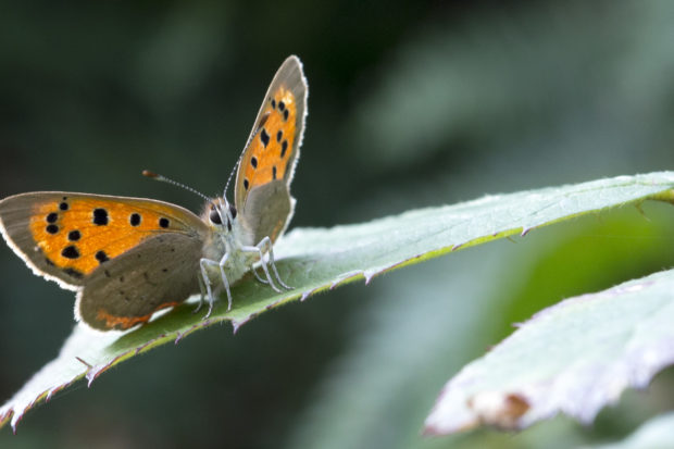 Small Copper butterfly by Jonathan Shavelar