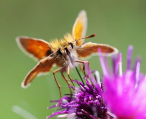 Small Skipper butterfly by Martin D'Arcy