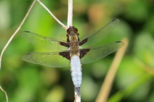 Broad-bodied Chaser dragonfly by Warden Michael
