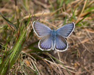 Silver-studded Blue butterfly at Hazeley Heath by Dave Braddock.