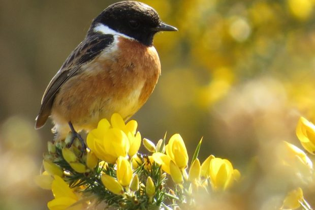 Stonechat by Warden Michael