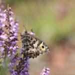 Grayling butterfly taken by Rob Solomon