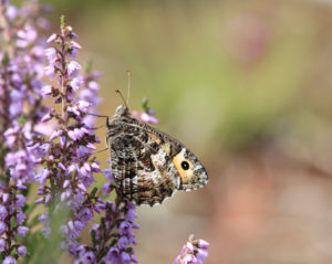 Grayling butterfly taken by Rob Solomon