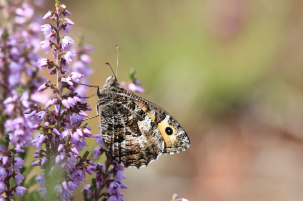 Gorgeous photograph of a grayling on flowering heather