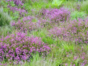 Bell Heather (credit Martin D'Arcy)