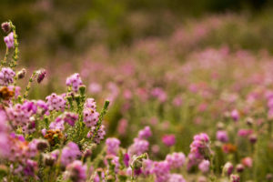 Cross-leaved Heath (credit Jonathan Shavelar)