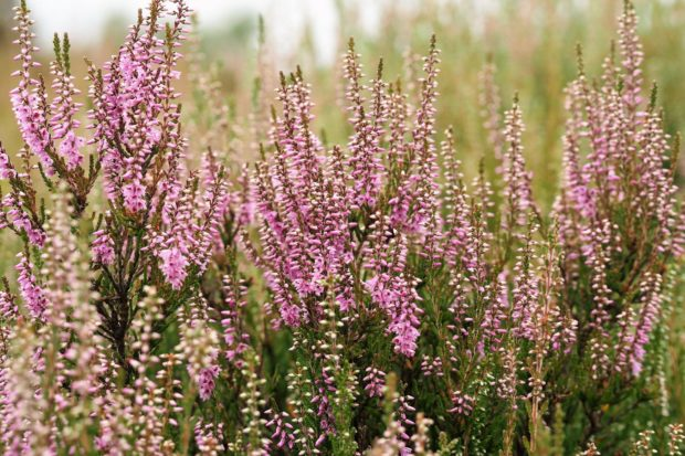 Common Heather or Ling in flower for Heath Week!