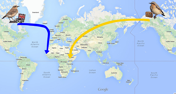 Migration routes of the Wheatear. Source: www.allaboutbirds.org