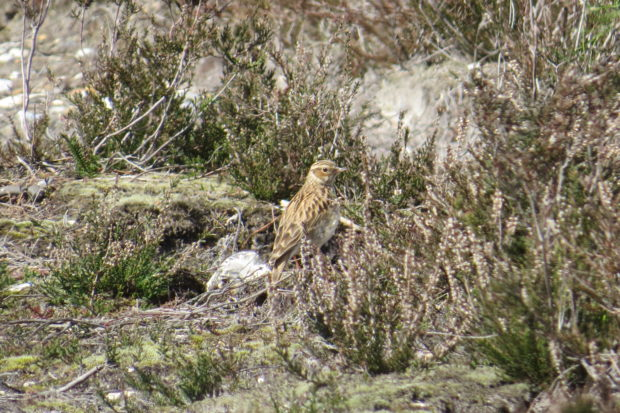 Woodlark - credit Michael Jones