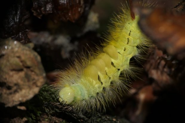 Pale Tussock Moth caterpillar by Michael Jones