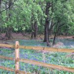 Bluebells at Chertsey Common, Longcross by Warden Nicky