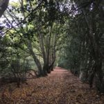 Avenue of Hornbeams at Hare Hill, contributed by Warden Mike