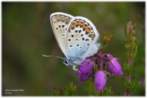 Silver-studded Blue awaiting the return of his ant butler