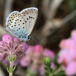 Pretty photograph of a silver-studded Blue butterfly amongst flowering cross-leaved heath