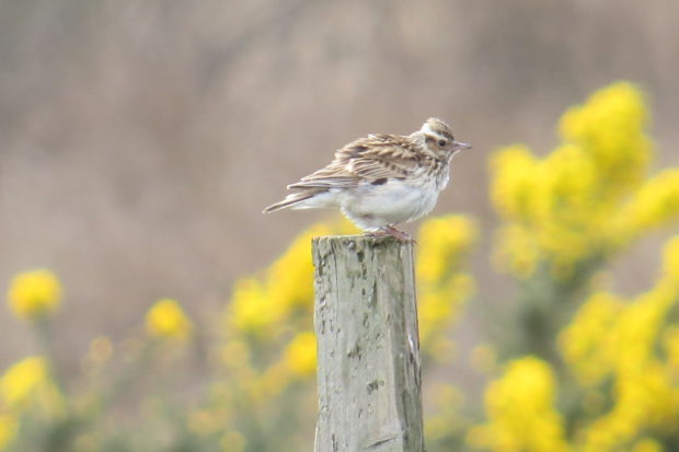 Woodlark photographed on the SPA by Michael Jones