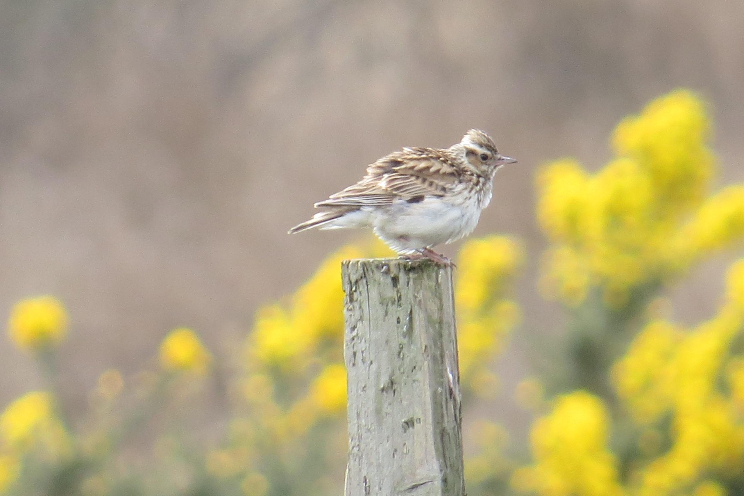 Woodlark photographed on the SPA by Michael Jones
