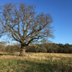 Stately Oak at Bramshot Farm