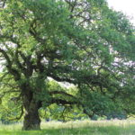 Oak at Bramshot Farm Country Park