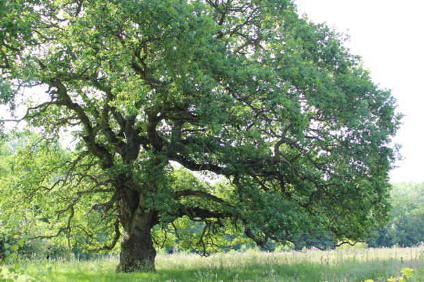 Photograph of a mature oak at Bramshot Farm Country Park
