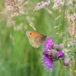 Meadow brown butterfly at Bramshot Farm Country Park by Hart Countryside team
