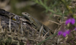 Photograph of common lizard on a log