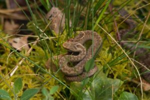A couple of baby adders by warden Jamie