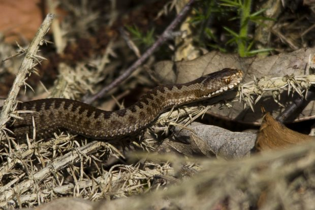 A young adder exploring the heath by Warden Jamie