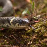 Grass snake by Jamie