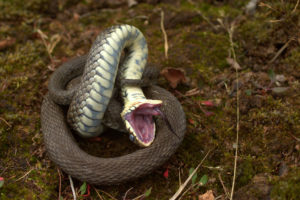 Grass snake displaying thanatosis by Jamie