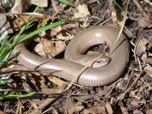 Slow worm taken by Martin D'Arcy