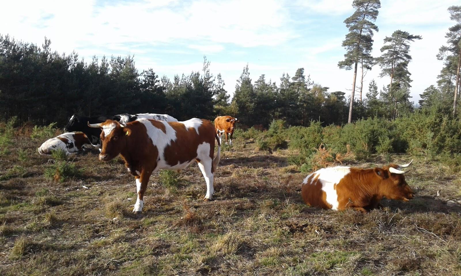 Cattle at Caesar's Camp (credit: Hampshire & Isle of Wight Wildlife Trust)