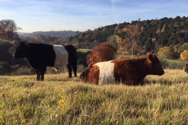 Surrey Wildlife Trust Steers on Box Hill